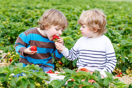 Two little friends having fun on strawberry farm in summer. Feeding each other with organic berries and spending time together. Cute blond brother boys eating healthy berries. Stock fotó