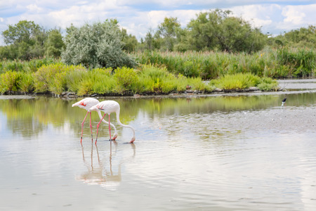 birds lake: wild flamingo birds in the lake in France, Camargue, Provence.