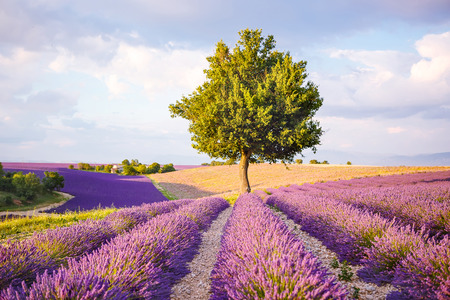 Lavender fields near Valensole in Provence, France on sunset. Beautiful view on rows and provencal houses. Popular place for traveling and tourists in summer. Stock Photo