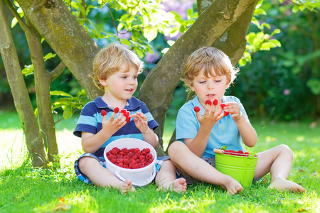 Two adorable little sibling boys eating fresh organic raspberries from homes garden, outdoors. Healthy food and snack for kids in summer.