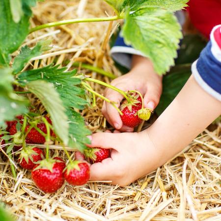 granja: Manos de recoger fresas ni�o peque�o en una granja org�nica recoger bayas en verano, en d�as c�lidos. Foto de archivo