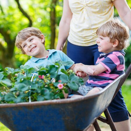 domestic garden: Two active blond kid boys having fun in a wheelbarrow pushing by mother  in domestic garden, on warm sunny day. Active outdoors games for kids in summer.