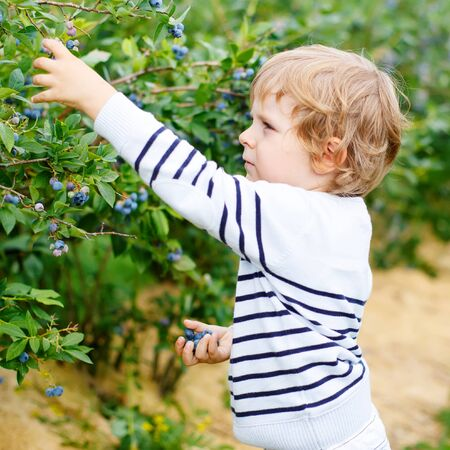 healthy snack: Little boy picking blueberry on organic self pick farm. Funny child eating fresh berries as healthy snack for kids and adults.