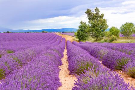 espliego: Campos de lavanda cerca de Valensole en Provenza, Francia. Filas de flores de color púrpura. Famoso, destino popular para los turistas y lugar para hacer las vacaciones en verano. En días de lluvia por la lluvia.