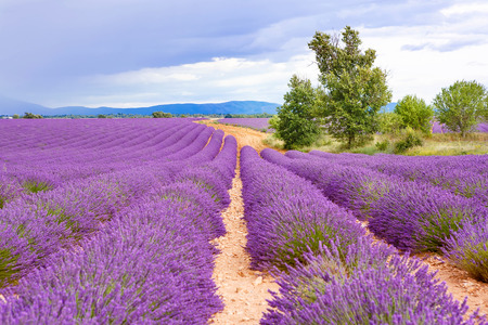 vacation: Lavender fields near Valensole in Provence, France. Rows of purple flowers. Famous, popular destination and place for tourists for making vacations in summer. On rainy day with rain. Stock Photo
