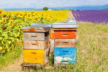 꿀벌의 많은 Valensole, 프로방스 근처 라벤더와 해바라기 필드에 꿀벌 하이브. 프랑스. 여름 휴가를 만들기위한 관광객을위한 유명한, 인기있는 목적지