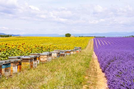 espliego: Colmenas de abejas en los campos de lavanda y de girasol, cerca de Valensole, Provenza con una gran cantidad de abejas. Francia. Famoso, destino popular para los turistas y lugar para hacer las vacaciones en verano.