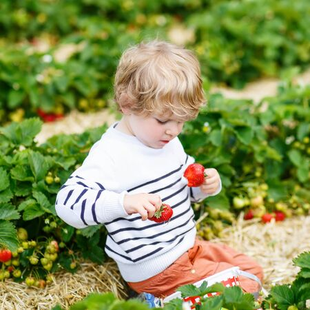 Funny little blond kid boy picking and eating strawberries on organic bio berry farm in summer, on warm sunny day. Harvest fields in Germany. photo