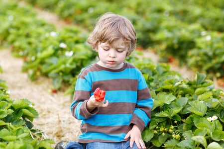 Funny little toddler child picking and eating strawberries on organic bio berry farm in summer, on warm sunny day. Harvest fields in Germany. photo