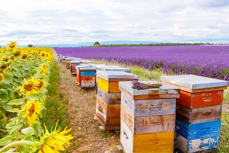 Včelích úlů na levandule a slunečnicových polí, v blízkosti Valensole, Provence. Francie. Famous, oblíbenou destinací pro turisty na výrobu dovolenou v létě.