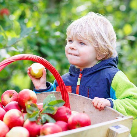 eating fruits: Lindo muchacho divertido ni�o empuja la carretilla de madera con manzanas rojas y comer frutas. Cabrito feliz en d�a de oto�o en un huerto. Recolecci�n familia juntos.