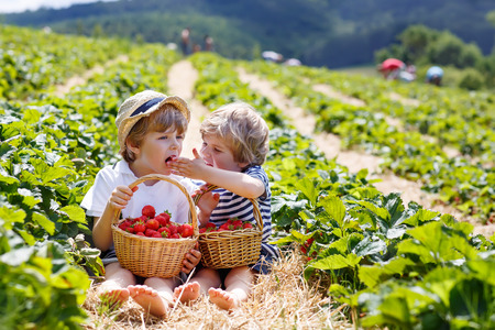 Two little sibling kid boys having fun on strawberry farm in summer. Chidren eating healthy organic food, fresh berries. 免版税图像