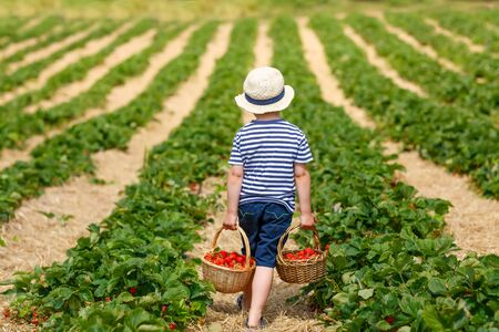 sunny day: Funny little kid picking and eating strawberries on organic bio berry farm in summer, on warm sunny day. Harvest fields in Germany. Healthy food for children. Stock Photo