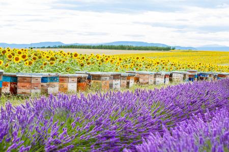 abejas: Colmenas de abejas en los campos de lavanda y de girasol, cerca de Valensole, Provence. Francia. Famoso, destino popular para los turistas para hacer las vacaciones en verano.