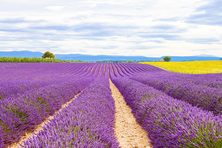 provence: Blossoming lavender and sunflower fields near Valensole in Provence, France. Rows of purple and yellow flowers.  Stock Photo