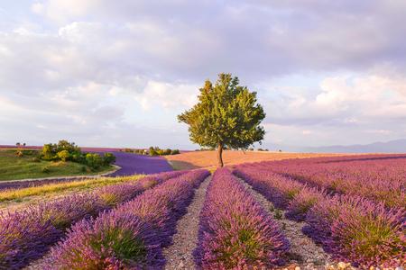 espliego: Campos de lavanda con el árbol solo cerca de Valensole en Provenza, Francia el atardecer.