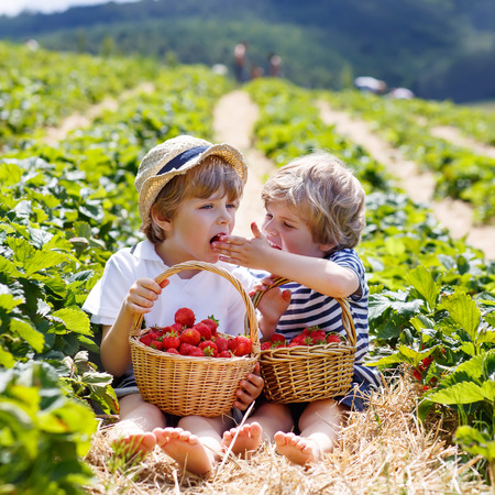 Two little sibling kid boys having fun on strawberry farm in summer. Chidren eating healthy organic food, fresh berries. Stock Photo