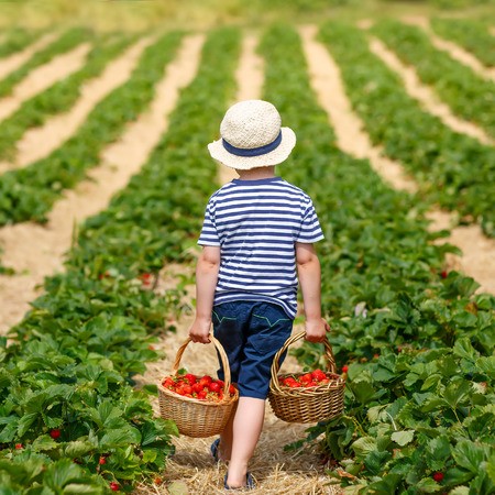 Funny little kid picking and eating strawberries on organic bio berry farm in summer, on warm sunny day. Harvest fields in Germany. Healthy food for children. Standard-Bild