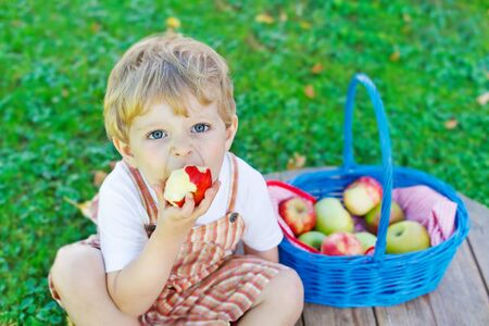 organic farming: Happy little toddler boy with big blue basket picking and eating red apples in fruit orchard, outdoors. Child having fun with gardening and harvesting. Lifestyle, organic food, family concept. Stock Photo