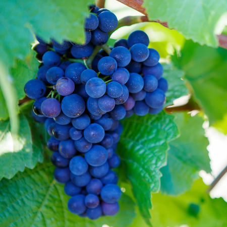 Blue Grapes ready to harvest made by a vintner in an established winery Stock Photo