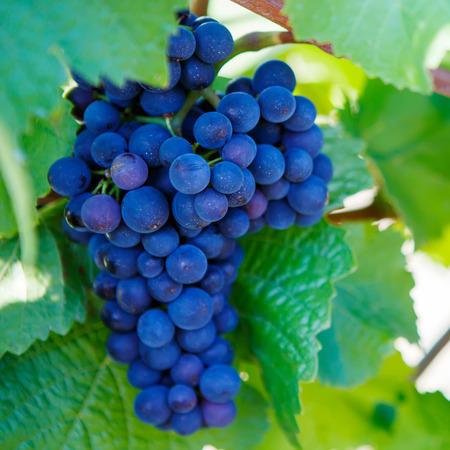 uvas: Uvas azules listas para la cosecha hecha por un viticultor en una bodega establecida
