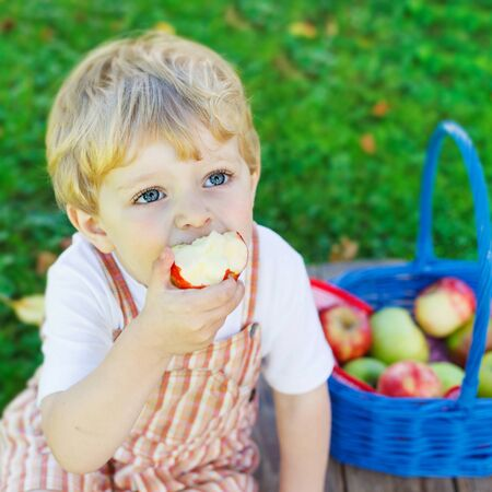 family gardening: Funny little toddler boy with big blue basket picking and eating red apples in fruit orchard, outdoors. Child having fun with gardening and harvesting. Lifestyle, organic food, family concept. Stock Photo