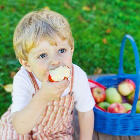 frutas divertidas: Poco ni�o chico divertido con gran canasta azul recogiendo y comiendo manzanas rojas en el huerto de frutas, al aire libre. Ni�o que se divierte con la jardiner�a y la cosecha. Estilo de vida, comida org�nica, el concepto de familia.