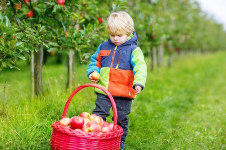 frutas divertidas: niño pequeño niño divertido con gran canasta roja recogiendo y comiendo manzanas rojas en el huerto de frutales, al aire libre. Niño que se divierte con la jardinería y la recolección. Estilo de vida, los alimentos orgánicos, el concepto de familia.
