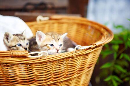 domestic animals: Three little kittens in a basket. Cute beautiful domestic animals.