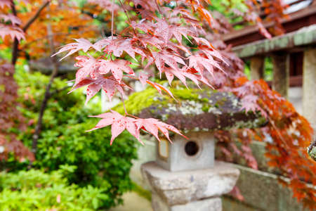 honshu: Red maple and traditional temple lantern in Japanese style garden in Japan.