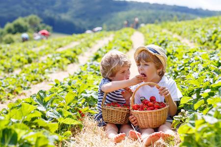 Two little friends, kid boys having fun on strawberry farm in summer. Children eating healthy organic food, fresh berries. Happy twins.