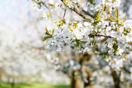 Okrasná zahrada s kvetoucími majestátně velkých třešní Reklamní fotografie