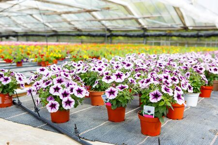 in the greenhouse: Cultivation of pink, purple, yellow different flowers and geraniums in a Greenhouse Stock Photo