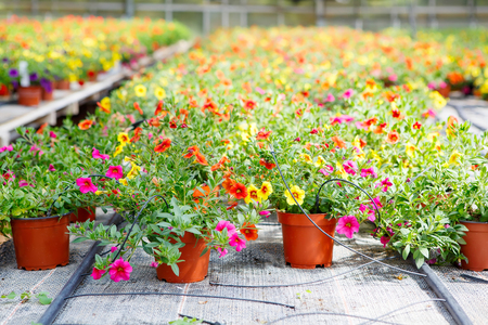 Cultivation of pink, purple, yellow different flowers and geraniums in a Greenhouse Stock Photo