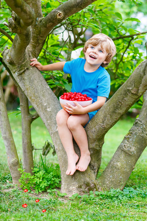 Little cute kid boy having fun with picking and eating cherries in domestic garden on warm summer day, outdoors. Healthy snack for children in summer. Kids helping with gardening