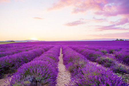 beautiful scenery: Blossoming Lavender fields in Valensole plateau in Provence, France on sunset. Beautiful view on rows and provencal houses. Popular place for traveling and tourists in summer. Stock Photo