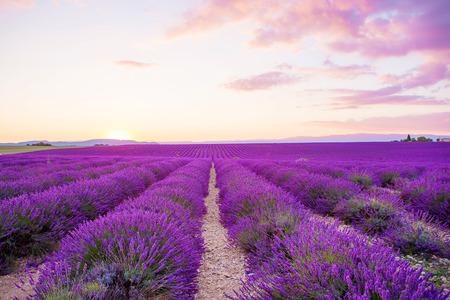 Kwitnące pola lawendy w Valensole plateau w Provence, Francja na zachód słońca. Piękny widok na wierszach i domów prowansalskim. Popularne miejsce dla podróży i turystów w okresie letnim.