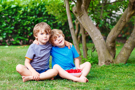 Two little sibling boys, twins having fun with picking and eating cherries in domestic garden on warm summer day, outdoors. Healthy snack for children in summer. Kids helping with gardening