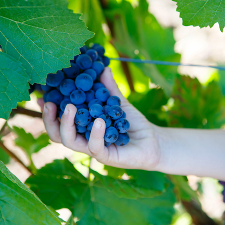 portugal agriculture: Hands of kid with blue grapes ready to harvest in an established winery Stock Photo