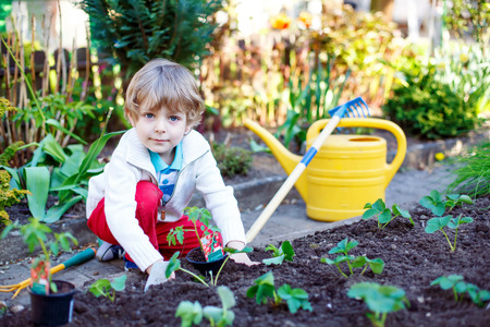 family gardening: Lovely preschool blond kid boy planting seeds and seedlings of tomatoes in vegetable garden. Happy carefree childhood. Funny child having fun with gardening in spring.