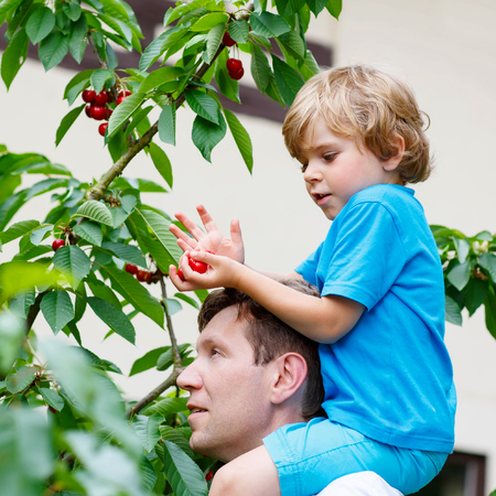 domestic garden: Little blond kid boy and his father having fun with picking cherries in domestic garden on warm summer day, outdoors. Healthy snack for children in summer. Kids helping in garden.