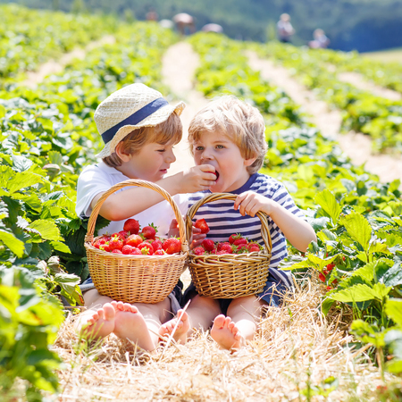 strawberries: Two adorable little friends, kid boys having fun on strawberry farm in summer. Chidren eating healthy organic food, fresh berries. Happy twins.