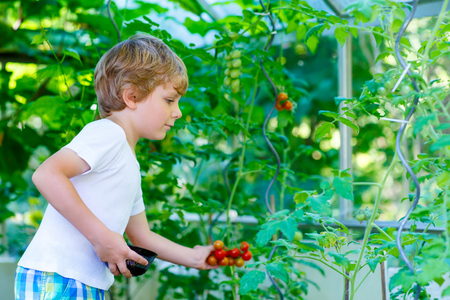 alone boy: Funny little kid boy of 5 picking fresh ripe tomatoes vegetables  in greenhouse. Preschool child helping on sunny summer day. Family, garden, gardening, lifestyle