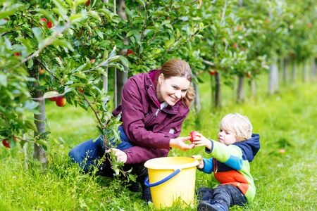 organic farm: Cute little blond toddler boy  his young mother picking red apples in fruit orchard. Family having fun with gardening and harvesting. Lifestyle, organic food, family concept.