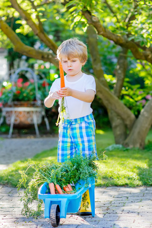 domestic garden: Cute smiling kid boy eating and picking carrots in domestic garden. child gardening outdoors. Healthy organic vegetables as snack for kids and kindergarten children