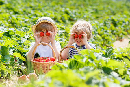 niños sanos: Two little sibling kids boys having fun on strawberry farm in summer. Children, cute twins eating healthy organic food, fresh berries as snack. Foto de archivo