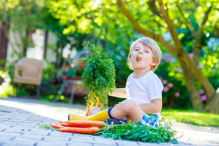 domestic garden: Blond smiling kid boy eating and picking carrots in domestic garden. child gardening outdoors. Healthy organic vegetables as snack for kids and kindergarten children Stock Photo