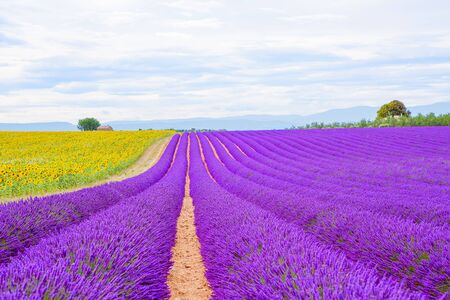 Blossoming Lavender fields in Valensole plateau in Provence, France on sunset. Beautiful view on rows and provencal houses. Popular place for traveling and tourists in summer. Stock Photo