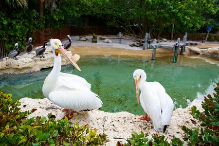 Big white pelicans on Islamorada, Florida Keys. Birds waiting for fish Stock Photo
