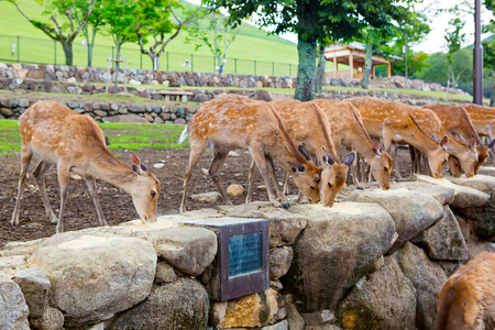 unharmed: Many deers in Nara park, Japan. Holy animals for japanese religious people.